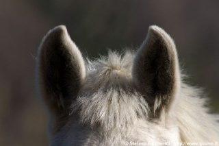 20060404_094544-orecchie-di-cavallo
