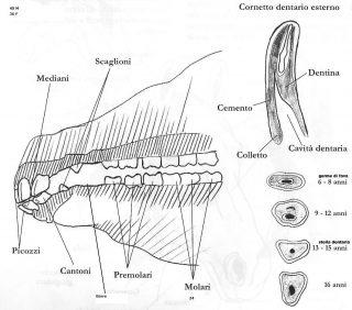 denti-del-cavallo