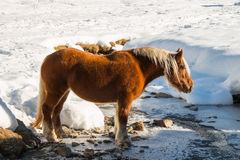il-cavallo-di-haflinger-va-bere-sulla-neve-48351292