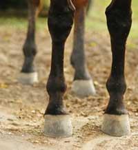 Appiombi nelle zampe dei cavalli