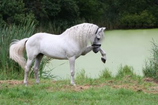 sjamaan_andalusian_x_frisian_by_nyckle-d4a148k
