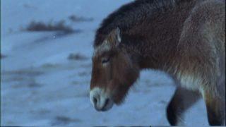 706910445-mantello-invernale-cavallo-di-przewalski-mongolia-specie-animale-in-pericolo-di-estinzione