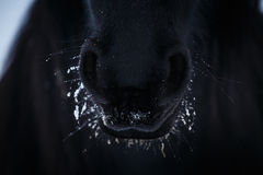 narici-del-cavallo-frisone-dentro-neve-65934703