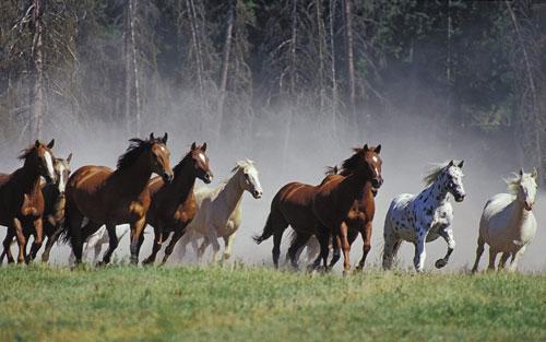 Il branco di cavalli allo stato brado