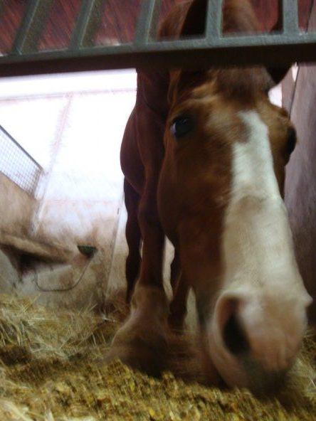 La digestione degli alimenti nel cavallo