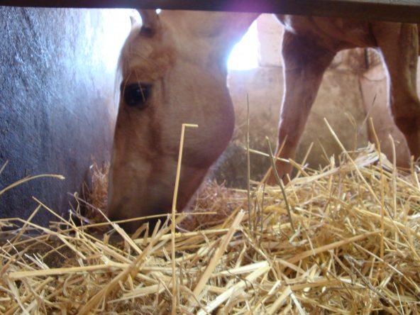 Sintomi quotidiani di buona o di cattiva salute del cavallo