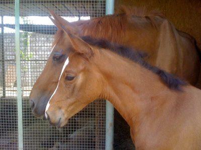 Crescita e sviluppo da puledro a cavallo adulto